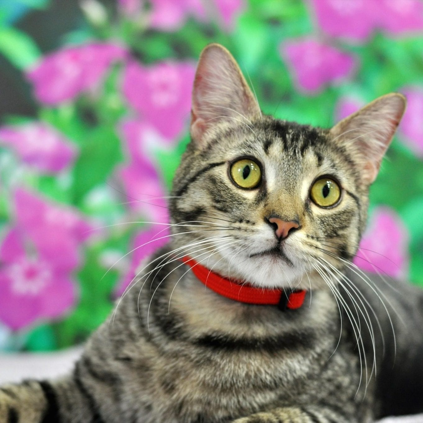 Feline Infectious Peritonitis Fip Friends For Life Animal Shelter