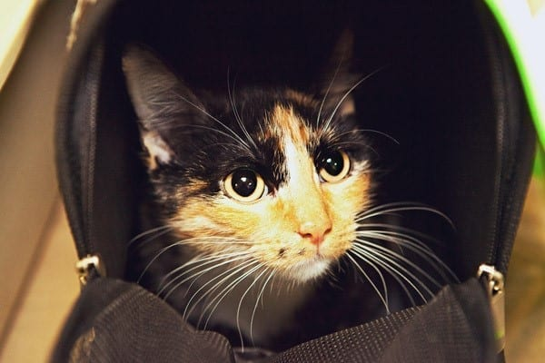 Fix Houston Cat in a soft-sided carrier